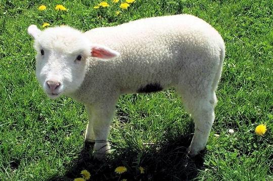 Un agneau avec une tête d'humain (IMAGE)
