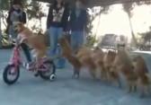 chien vélo