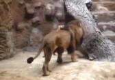 Un lion tue une lionne dans un zoo