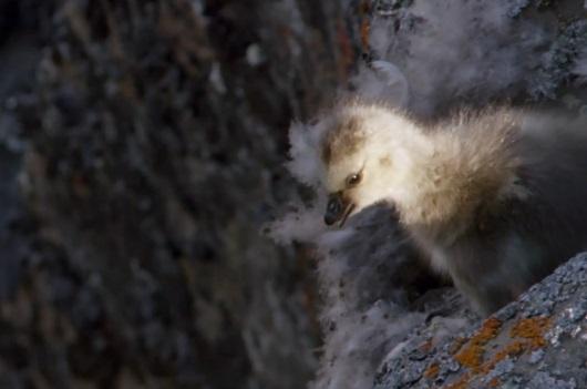 Un oisillon fait une chute libre de plus de 122 mètres (vidéo)
