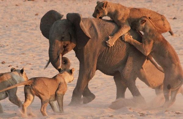 Un éléphanteau survit à l'attaque de 14 lions (vidéo)