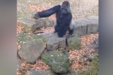 gorille jette une pierre