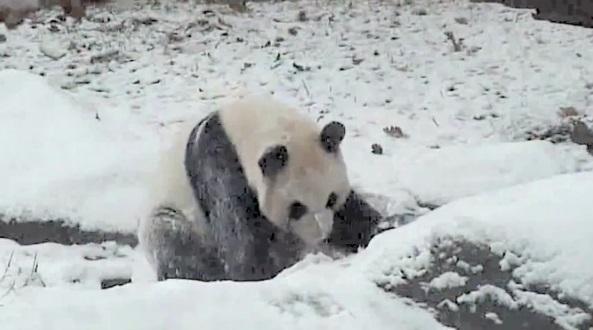 Un panda s'éclate dans la neige (vidéo)