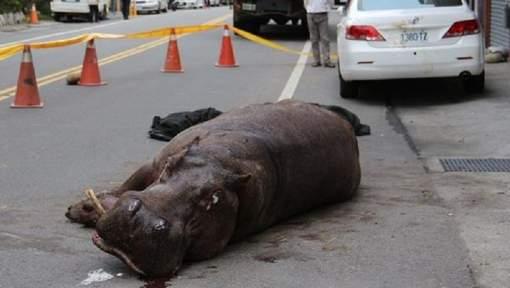 Un hippopotame saute d'un camion à Taïwan (vidéo)
