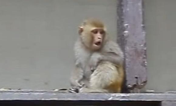 Un singe met KO un homme qui venait de lui faire un doigt