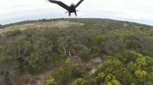 Un aigle attaque un drone !