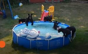Une maman ours emmène ses oursons à la piscine