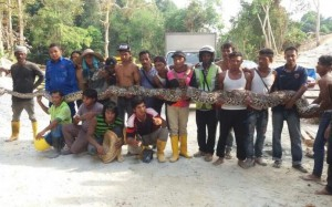 Un serpent de plus de 8 mètres de long découvert en Malaisie