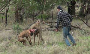 Il frappe un kangourou pour sauver son chien (vidéo)
