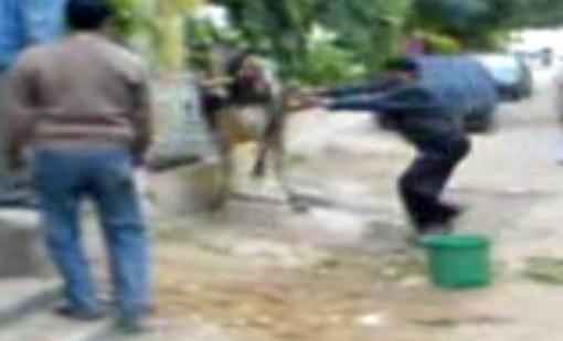 Un vache met un double high-kick à un homme (VIDEO)